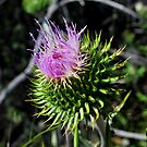 Star Thistle5-Merced River, Ca by Alan Brazzel