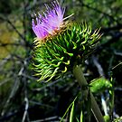 Star Thistle6-Merced River, Ca by Alan Brazzel
