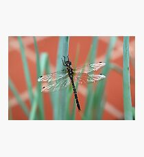 Dragonfly content on Shallots Photographic Print