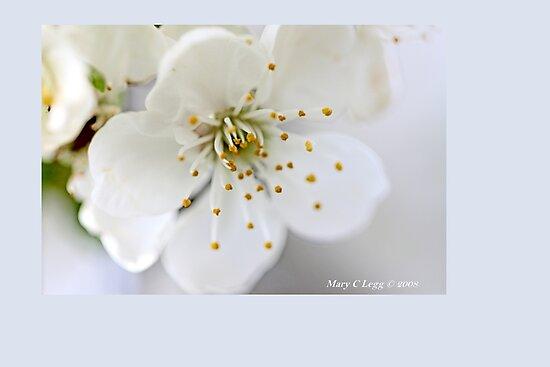 Single apple blossom E by pogomcl