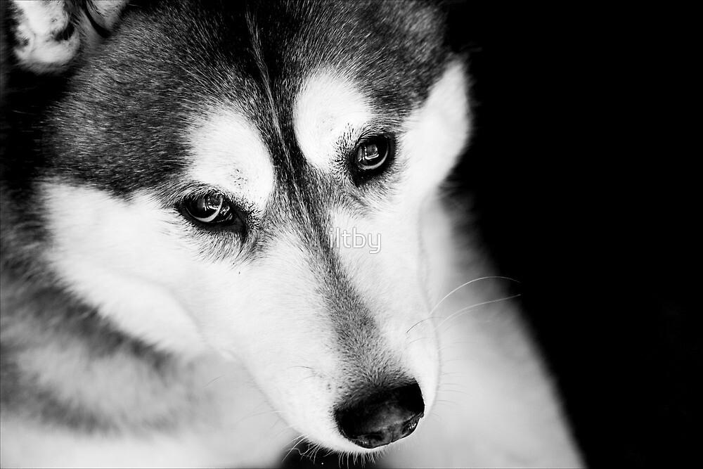 Portrait of a Husky by iltby