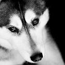 Portrait of a Husky by Josie Eldred