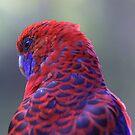 Crimson Rosella Parrot by Stecar