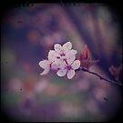 Blossom by Sid Black