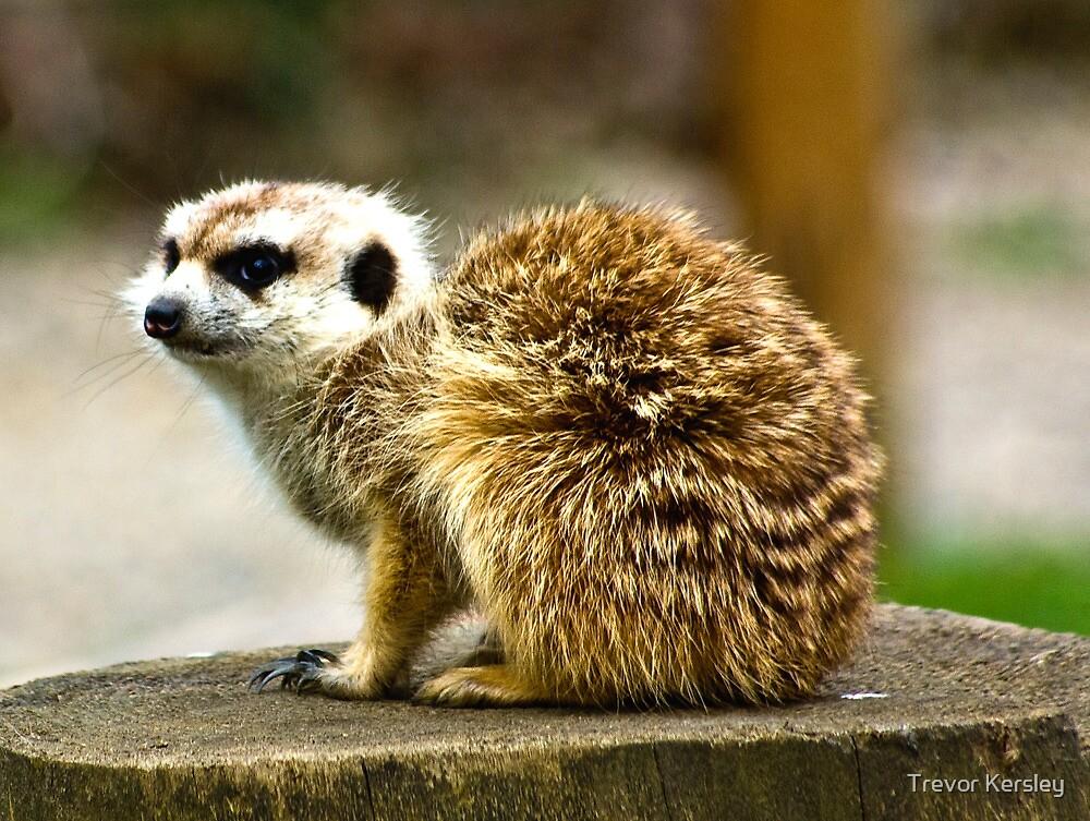 Meerkat #1 by Trevor Kersley