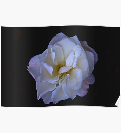 Hint of Pink (Rose) Poster