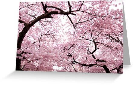 Cherry Blossoms by Tim Mannle