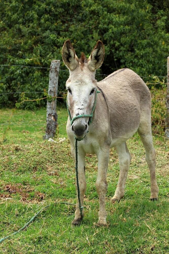 Jerusalem Donkey in a Meadow by rhamm