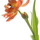 Orange Tulip by Ann Garrett