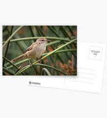 Little Grassbird - Megalurus gramineus Postcards