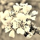 Sepia Spring Blossoms  by by-jwp