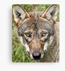 Canis Lupus Metal Print