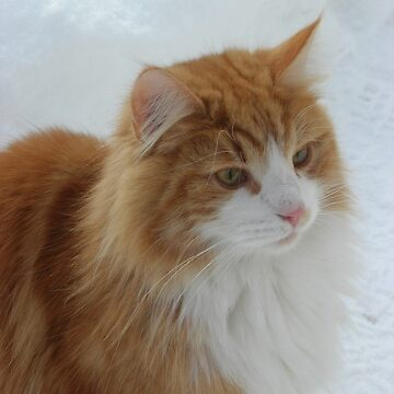 Norwegian Forest Cat orange and white by marasdaughter