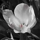 Blushing Tulip by SilverLilyMoon
