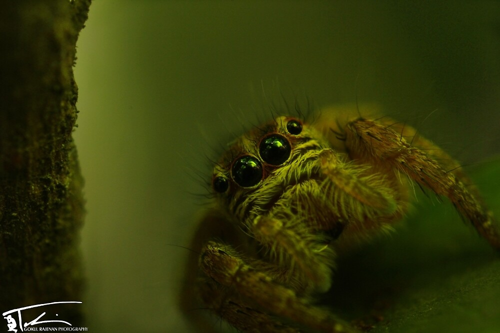 Jumping Spider . by Gokul Rajenan