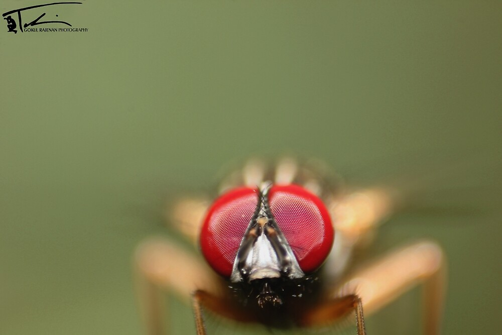 Life..! |Housefly| by Gokul Rajenan