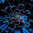 "Black Rose ""Zwartkopf"" Aeonium by Len Bomba"