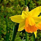 Daffodill #2 by Trevor Kersley