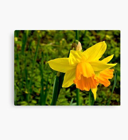 Daffodill #2 Canvas Print