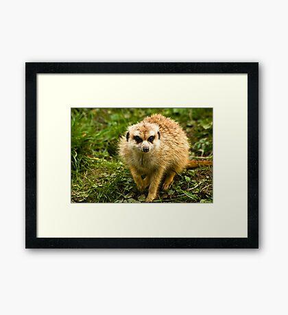 Meerkat #2 Framed Print