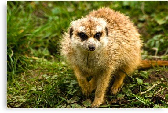 Meerkat #2 by Trevor Kersley