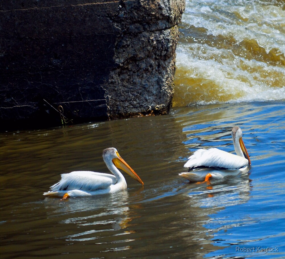 pelicans  illinois by Robert Keylock