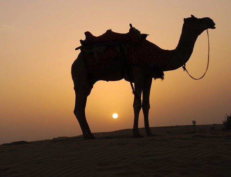 """""""Camel at sunset in Thar desert"""" Posters by Appy 