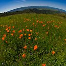 Poppy Fields Forever by MattGranz