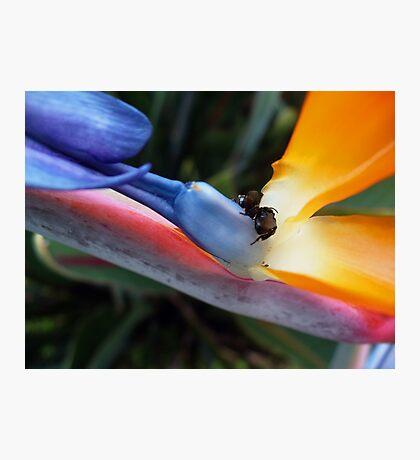 Bee and Paradise Bird  Photographic Print