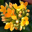 Yellow flower (Kalanchoe) by dragonsnare