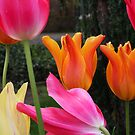 Two Orange Tulips by CherylBee