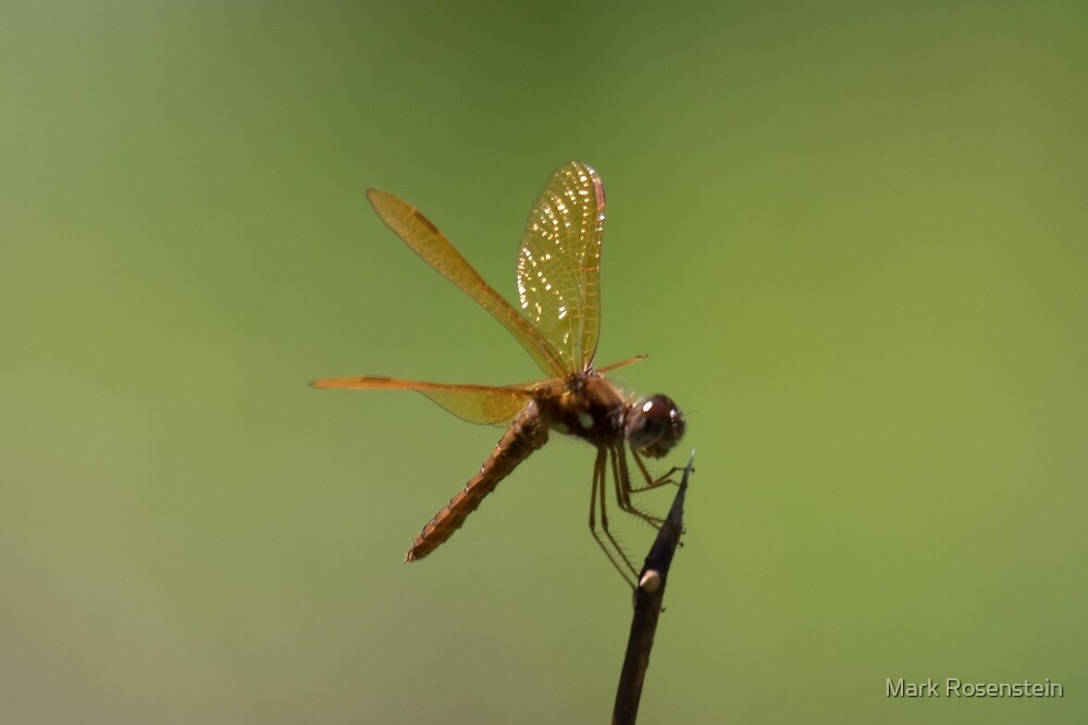 Eastern Amberwing by Mark Rosenstein