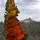royal hakea - fitzgerald river np, western australia by col hellmuth