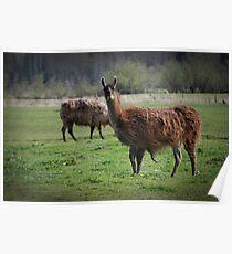 Llama Country Poster