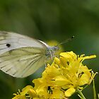 Veined White on Brassica by cuprum