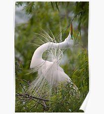 Great Egret in Courtship Dance Poster
