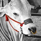 cow with colored head-rope and gold nose ring by Bigart32