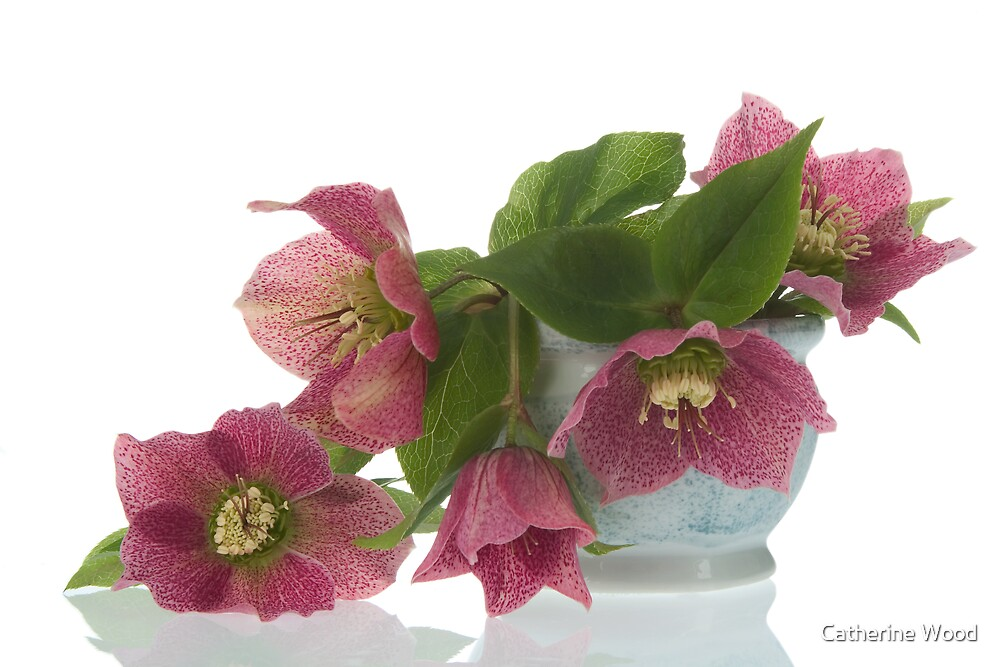 Lenten Rose by Catherine Wood