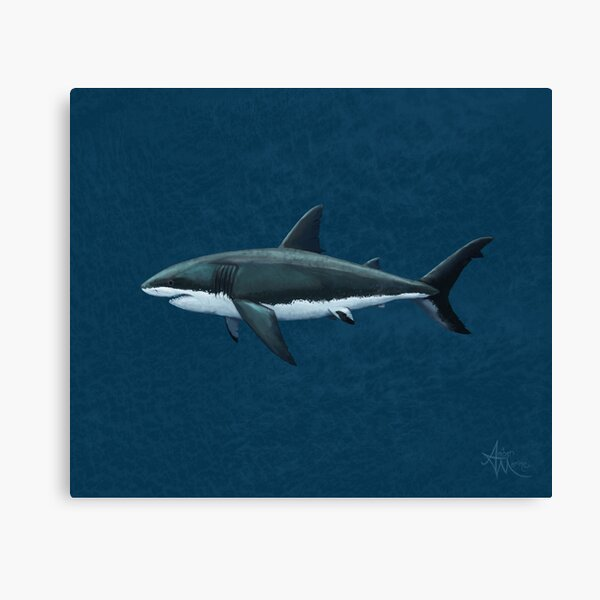 Carcharodon carcharias by Amber Marine, great white shark illustration, art © 2015 Canvas Print