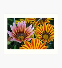 Pink and Orange Gazanias in Pleasanton, CA Art Print