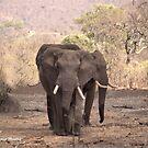DREI ELFENBEINER - DER AFRIKANISCHE ELEFANT - Loxodonta africana von Magriet Meintjes