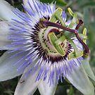 The Oddly Beautiful Passion Fruit Flower by Jennifer  Gaillard