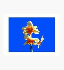 Narzissen-Trio auf Royal Blue Background Kunstdruck