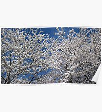 Cherry Blossoms Canopy Poster
