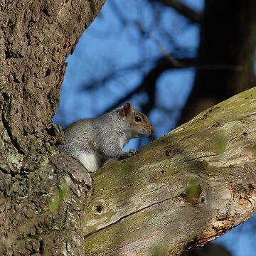 Grey Squirrel by agurney