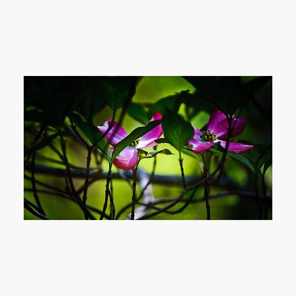 pink, dogwood Photographic Print