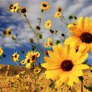 Sunflowers by Gene Praag