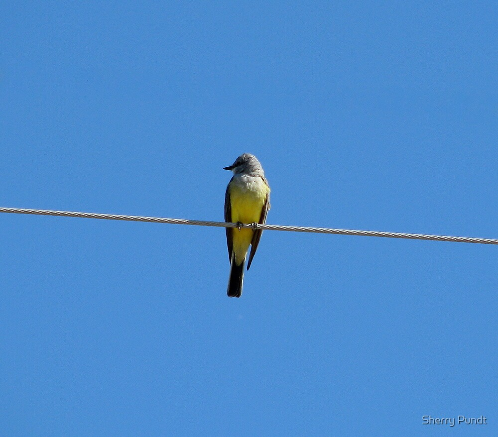 """""""Hanging out"""" Kingbird by Sherry Pundt"""