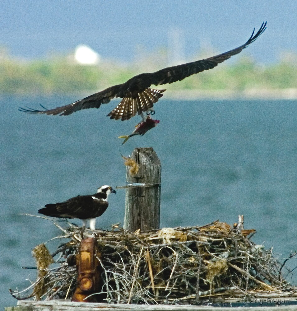 Osprey with fish by Larry  Grayam