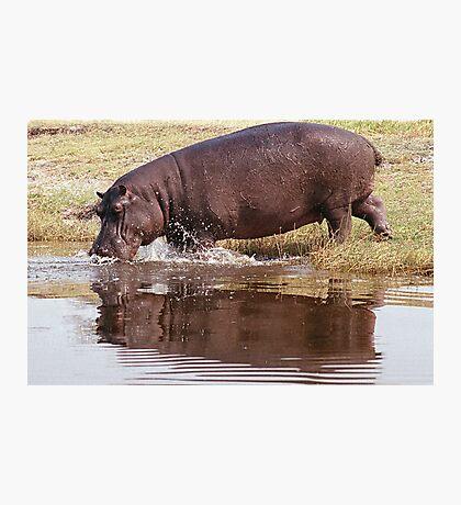 Charging Hippo Photographic Print
